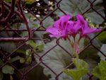 日陰のゼラニウム – Pelargonium