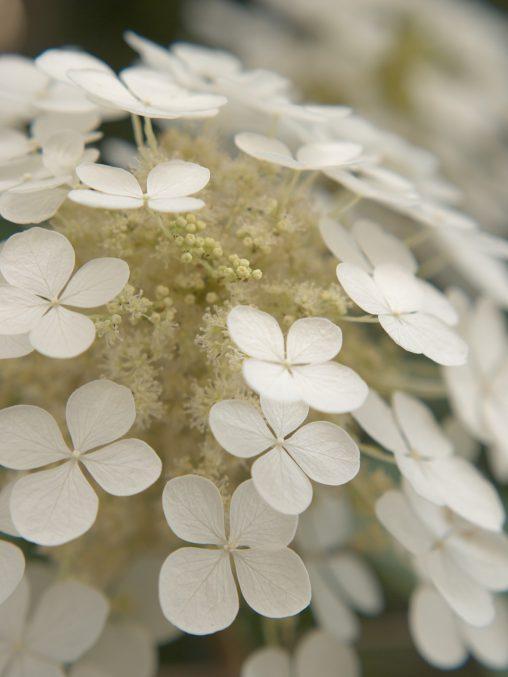 しらたま – Oakleaf hydrangea