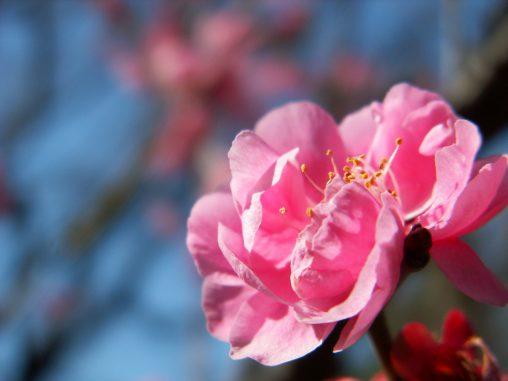 梅 (5枚) – Plum flowers (5 pics)