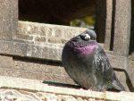 首かしげ鳩(2枚) – Pigeon tilts head (2 pics)