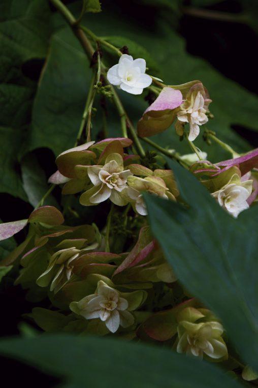 枯れゆくカシワバアジサイ – Old oakleaf hydrangea