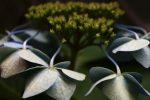 うつむくガクアジサイ – Old Hydrangea