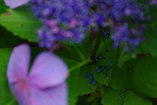 花散る – Hydrangea