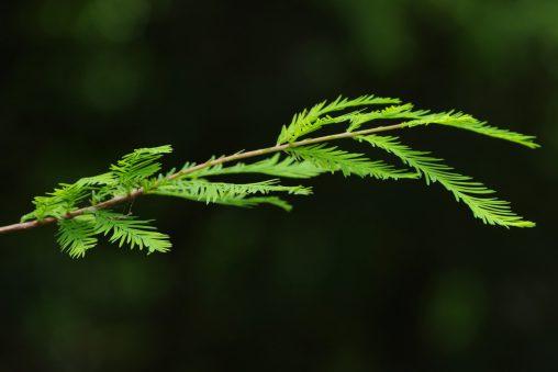 ラクウショウの若枝 – Swamp cypress