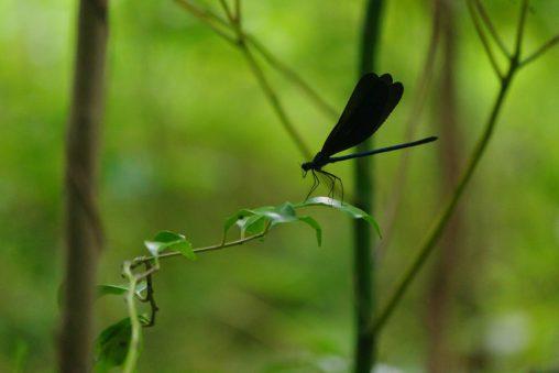 ハグロトンボ(3枚) – Atrocalopteryx atrata (3 pics)