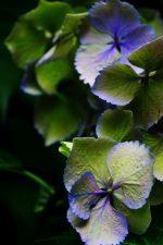 最期の一華 – Hydrangea