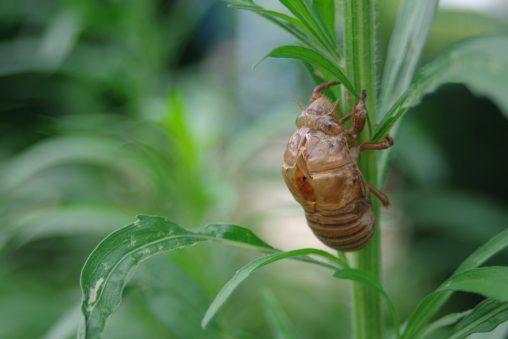空蝉 – Cicada shell