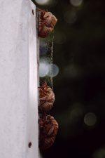 直列 – Series cicadas