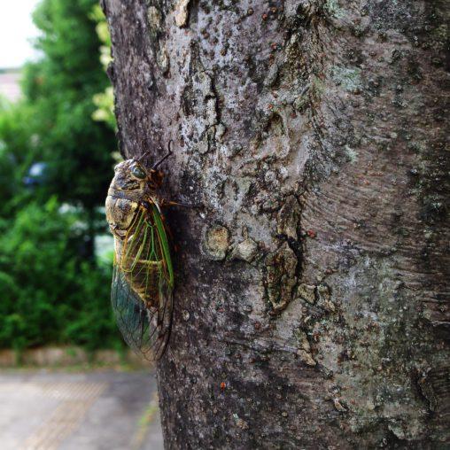 クマゼミ – Black cicada