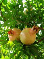 未熟なビワの実 – Unripe Loquats