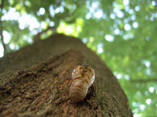空蝉(2枚) – Cicada shell (2 pics)