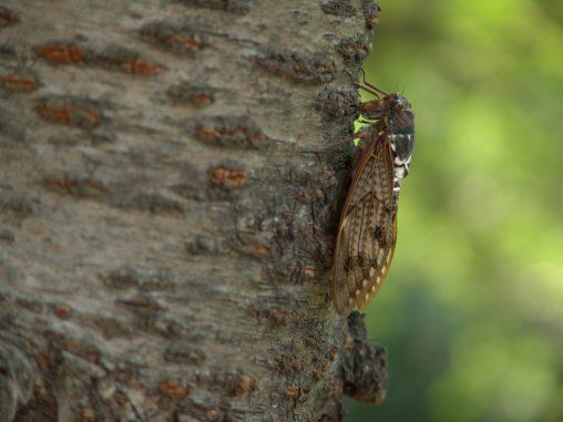 セミ(2枚) – Cicadas (2 pics)