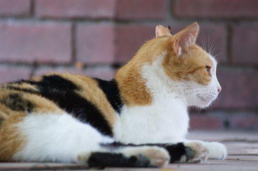 三毛猫 – Calico