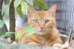 茶トラ – Tabby cat