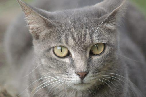 サバトラ(2枚) – Silver tabby cat (2 pics)