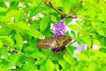 タイワンレンギョウにナミアゲハ(3枚) – Asian Swallowtail on Pigeon Berry (3 pics)