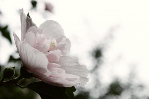 八重木槿 – Rose of sharon