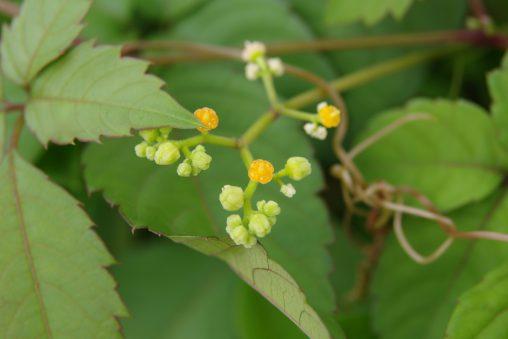 ヤブガラシ – Japanese cayratia herb