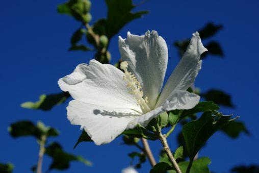 白木槿 – White Rose of Sharon