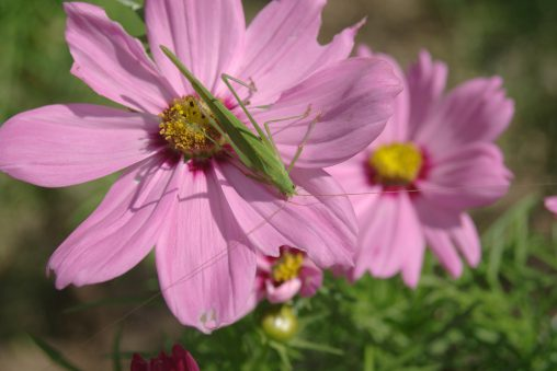 コスモスにバッタ – Grasshopper on Cosmos