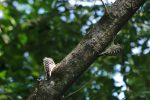コゲラ(2枚) – Pygmy Woodpecker (2 pics)